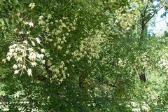 Flowering branches of Sophora japonica in summer. Flowering branches of Sophora japonica tree in summer stock photo