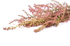 Flowering branches of sorrel. Garden plant sorrel is isolated on a white background stock photo