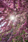 Flowering branches. The sun shines through the flowering branches Royalty Free Stock Images
