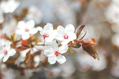 Flowering branches of tree on nature blurred background. stock photo
