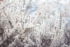 Flowering branches of tree on nature blurred background. Shallow depth of field. Spring mood. Sakura blossom. Soft focus royalty free stock photography
