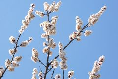 Flowering branches of trees against the blue sky royalty free stock photo