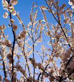 Flowering branches of trees in spring, on background the sky Royalty Free Stock Photos