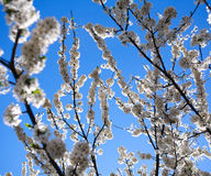 Flowering branches of trees in spring, on background the sky Stock Photos