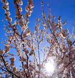 Flowering branches of trees in spring, on background the sky Stock Photography