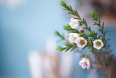 flowering branches with wax flowers (Chamaelaucium uncinatum) Royalty Free Stock Photography