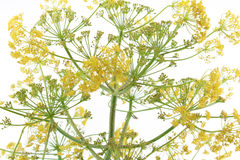 Flowering branches on white, blur. Detail of a the flowering branches of a fennel against a white background, landscape cut Stock Image
