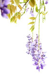 Flowering branches of wisteria, on white Royalty Free Stock Images