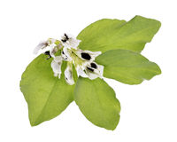 Flowering broad beans fava beans Royalty Free Stock Photography
