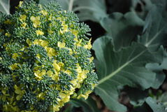 Flowering Broccoli Stock Photos