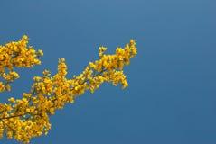 Flowering  broom shrub Stock Images