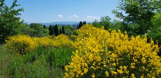 Flowering broom in spring. And cypress near Barberino Val d`Elsa, Florence, Tuscany, Italy royalty free stock image