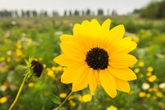 Flowering Browneyed Susan. Yellow blooming Brown-eyed Susan growing in a field edge with all kinds of wild flowers Royalty Free Stock Image
