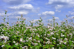 Flowering buckwheat on a background of clouds Royalty Free Stock Image