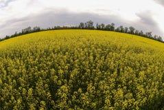 Flowering buckwheat field Stock Photo