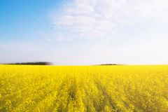 Flowering buckwheat field. Yellow wildflowers. Nature, landscape. Agriculture business. Double exposure. Stock Image