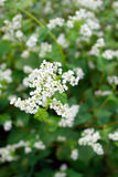 Flowering buckwheat Stock Photography