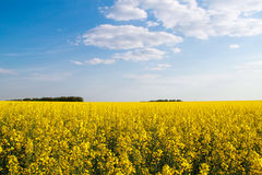 Flowering buckwheat. Yellow wildflowers. Nature, landscape. Agriculture. Flowering buckwheat with yellow wildflowers. Landscape. Agricultural buisness Royalty Free Stock Image