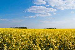 Flowering buckwheat. Yellow wildflowers. Nature, landscape. Agriculture. Flowering buckwheat with yellow wildflowers. Nature, landscape. Agricultural buisness Stock Photos
