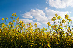 Flowering buckwheat. Yellow wildflowers. Nature, landscape. Agriculture. Flowering buckwheat with yellow wildflowers. Landscape. Agricultural buisness Royalty Free Stock Photo