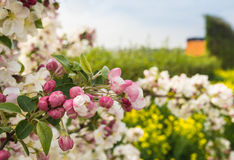 Flowering and budding apple tree branch Royalty Free Stock Photos