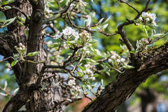 Flowering and budding branch of an apple tree Stock Photography