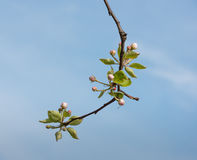 Flowering and budding branch of an apple tree Stock Image