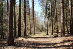 Pathway And Pine Forest In Spring. Season Change. Pine Forest With Wild Berry  Tree Put Forth Fresh Young Green Leaves During Springtime In Europe stock photo