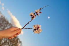 Flowering buds in the hand. Against the sky Stock Images
