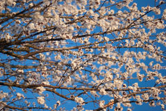 Flowering buds on the tree. Beautiful flowering buds on the tree Stock Images