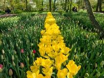 Flowering bulbs in Keukenhof Gardens, Holland Royalty Free Stock Photo