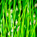 Flowering bulrush Royalty Free Stock Photos