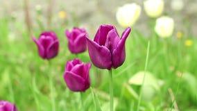 Flowering burgundy tulips. Green meadow, zoom in stock footage