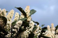 Flowering bush. Against blue sky Royalty Free Stock Photos