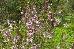 Flowering bush of Almond Steppe. Royalty Free Stock Photos
