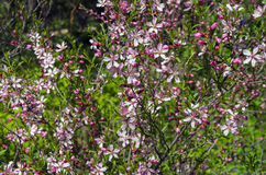 Flowering bush of Almond Steppe. Royalty Free Stock Images