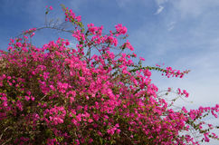 Flowering bush background blue sky Stock Image