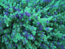 Flowering bush with bright blue flowers, nature background. Stock Photos