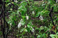 Flowering Bush cherry. Prúnus pádus. Stock Photo