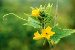 Flowering bush cucumber in the garden Royalty Free Stock Images