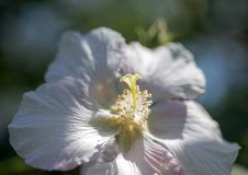 Close-Up Cotton Rosemallow Flower. Flowering bush in decorative garden park white flowers in spring Royalty Free Stock Photo