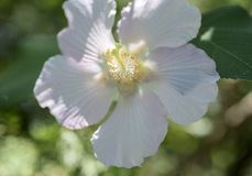 Close-Up Cotton Rosemallow Flower. Flowering bush in decorative garden park white flowers in spring Stock Images