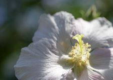 Close-Up Cotton Rosemallow Flower. Flowering bush in decorative garden park white flowers in spring Stock Photography