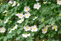 Flowering bush of the dog-rose  close up Royalty Free Stock Photos