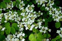 Flowering bush of a Doublefile viburnum. Lat.- Viburnum plicatum var. tomentosum royalty free stock photo