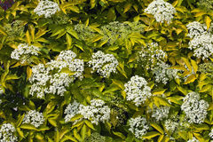 Flowering bush elderberry Stock Photos