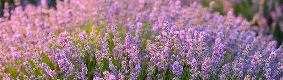 The flowering bush of fragrant lavender in a sunlit. Summertime royalty free stock photography