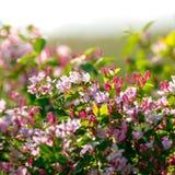 Flowering bush honeysuckle in the garden. Flowering bush honeysuckle in garden royalty free stock photography