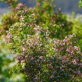 Flowering bush honeysuckle in  garden. Royalty Free Stock Image