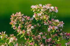 Flowering bush honeysuckle in  garden. Stock Photo
